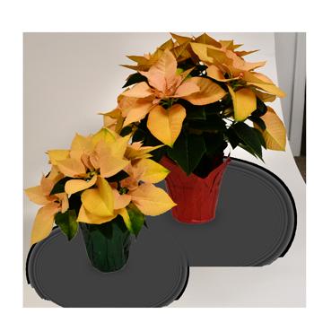 Autumn Poinsettia