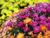 Chrysanthemums Roll Image