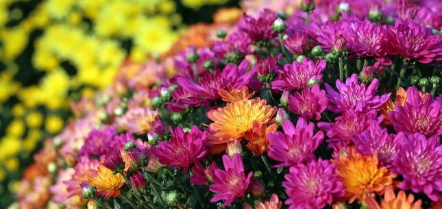 Chrysanthemums Roll Image