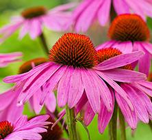 Echinacea-'Pow-Wow-Wildberry'-222x205