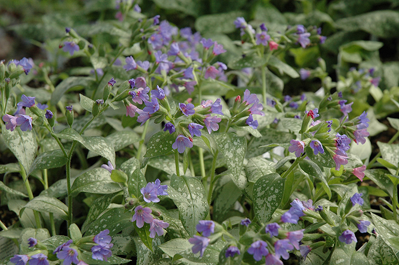 Majeste Lungwort perennial plant