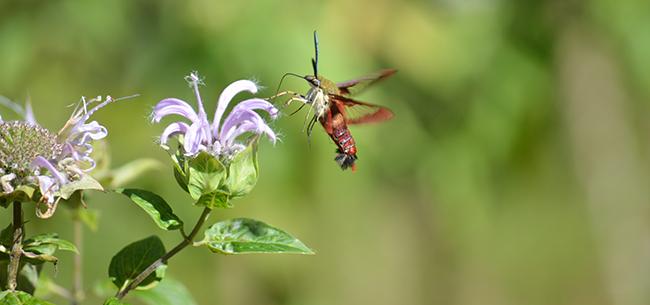 hummingbird moth on wild bergamot