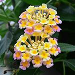 Lantana-for-pollinators