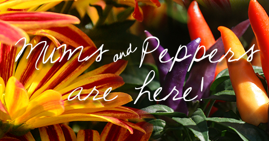 Mums-and-Peppers_525x275
