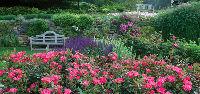 Knock Out Roses in Landscape