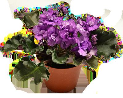 African Violet African Violet Plant