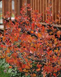 'Autumn Magic' Chokeberry