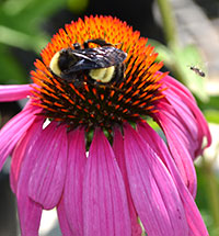 bee-on-coneflower