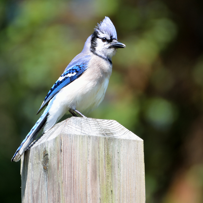 blue jay perched on post