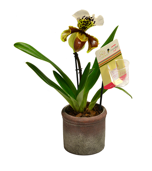 bulldog-orchid-isolated