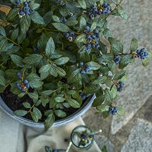 bushel and berry