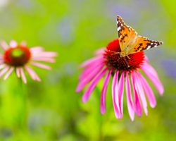 butterfly on purple coneflower