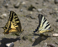 butterflies in mud puddle