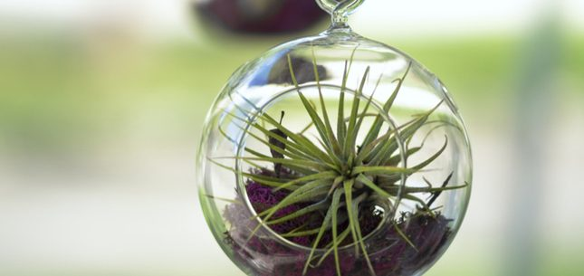 caring for air plants.