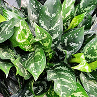 chinese-evergreen