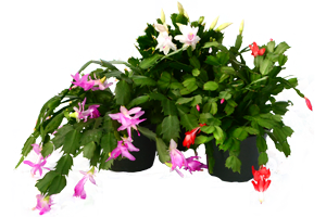 christmas-cactus-assorted