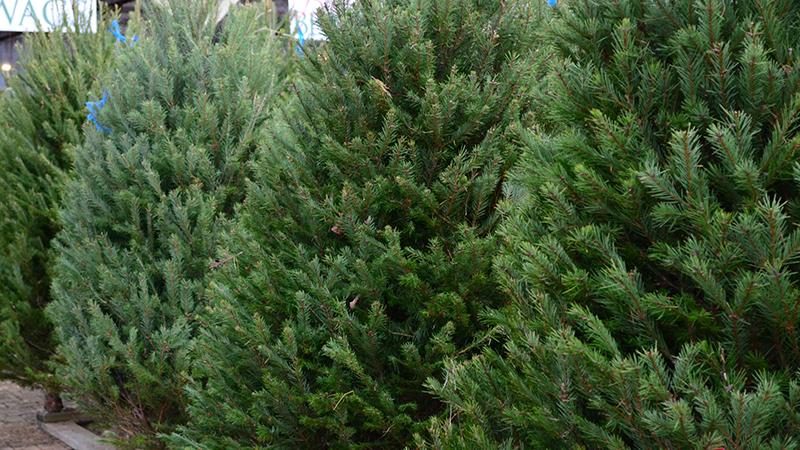 christmas-trees-800x450
