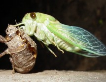 cicada2_bohlmeyer