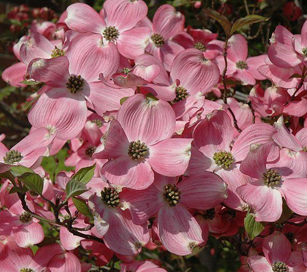 Cherokee Brave Flowering Dogwood Tree 7g Homestead Gardens Inc