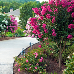 crapemyrtle planted along walkway