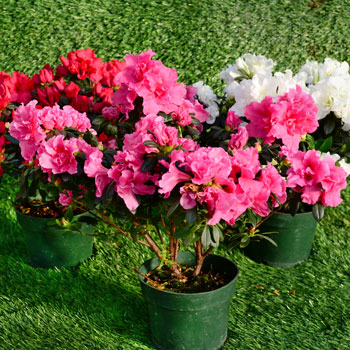 florist-azaleas-2