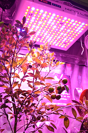 fruit tree in grow tent photo