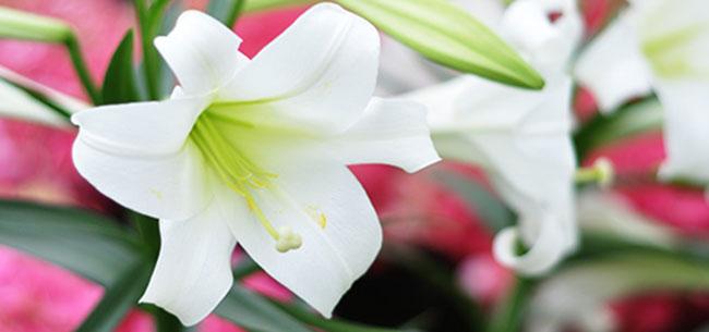 fundrasier-easter-lillies