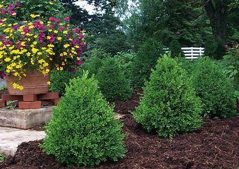 green mountain boxwood homestead gardens inc homestead gardens