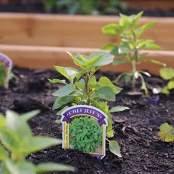 herb growing in raised bed