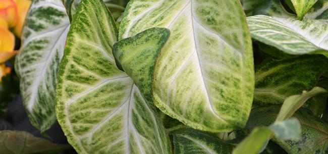 houseplant-syngonium.jpg