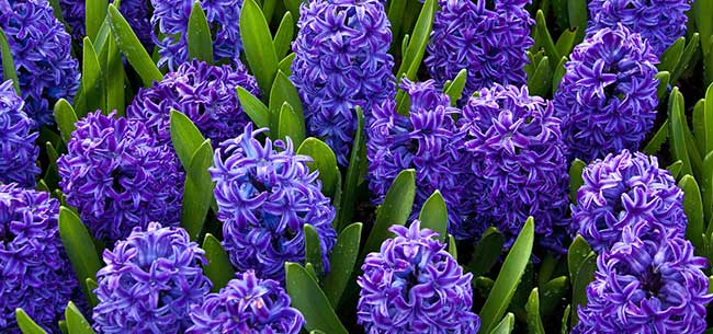 plant fall bulbs now for spring color  homestead gardens, Natural flower