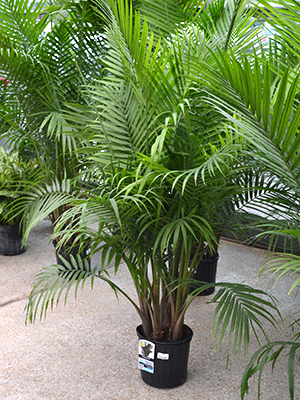 Majesty palm homestead gardens inc homestead gardens for Yucca exterieur gele