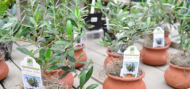 Olive Trees - Homestead Gardens, Inc. | Homestead Gardens, Inc.