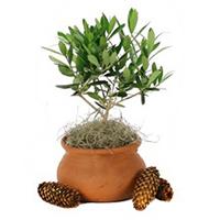 olive-tree-clay-pot-200x200