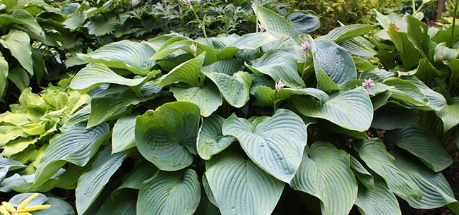 Do I Have To Trim Back Hostas After The First Freeze Homestead