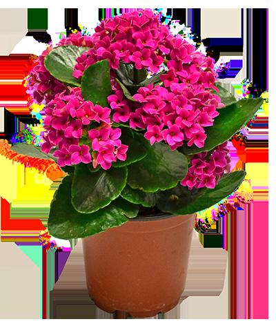 Flowering indoor plants homestead gardens inc for Small indoor flowering plants