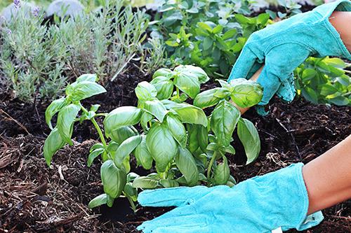 planting basil photo