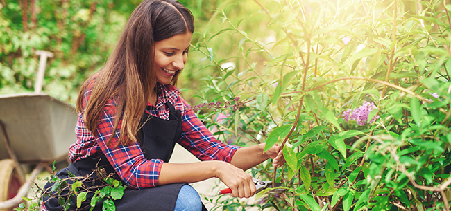pruning-hydrangeas