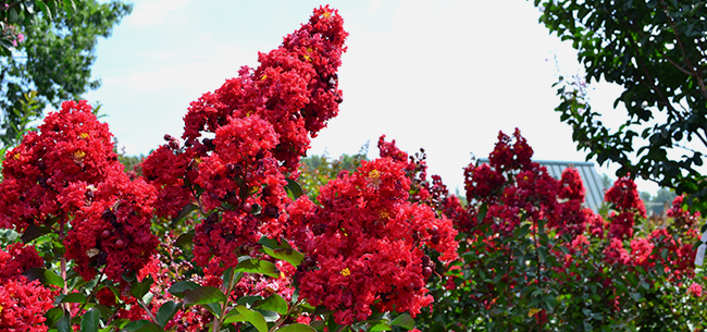 Crapemyrtle festival july 20 23 2018 homestead gardens inc homestead gardens inc for Homestead gardens fall festival