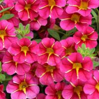 Proven Winners Superbells Cherry Star Calibrachoa