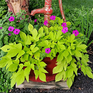 sweet potato vine in container