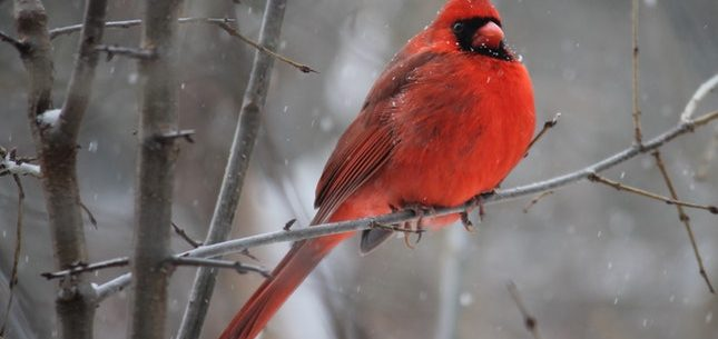 Red Cardinal example of Winter Birding